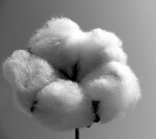 Cotton 225